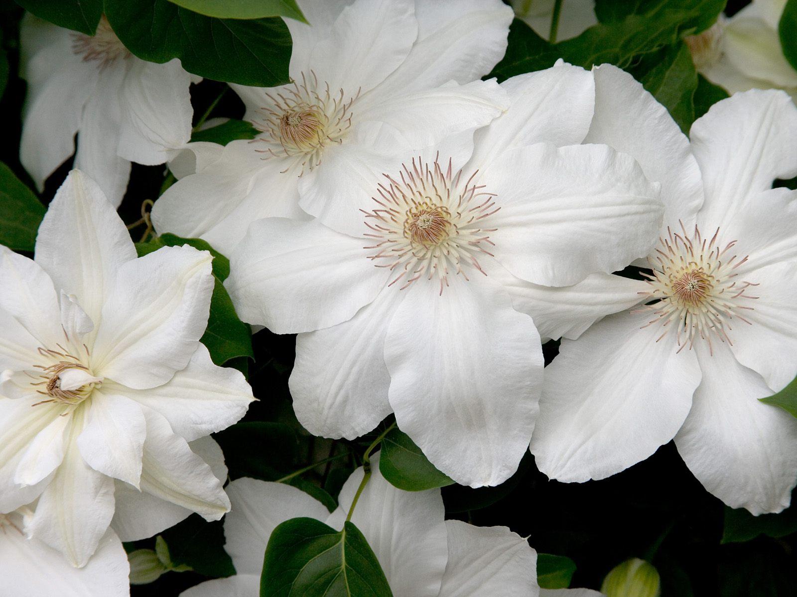 Белые цветы с зелеными листьями фото