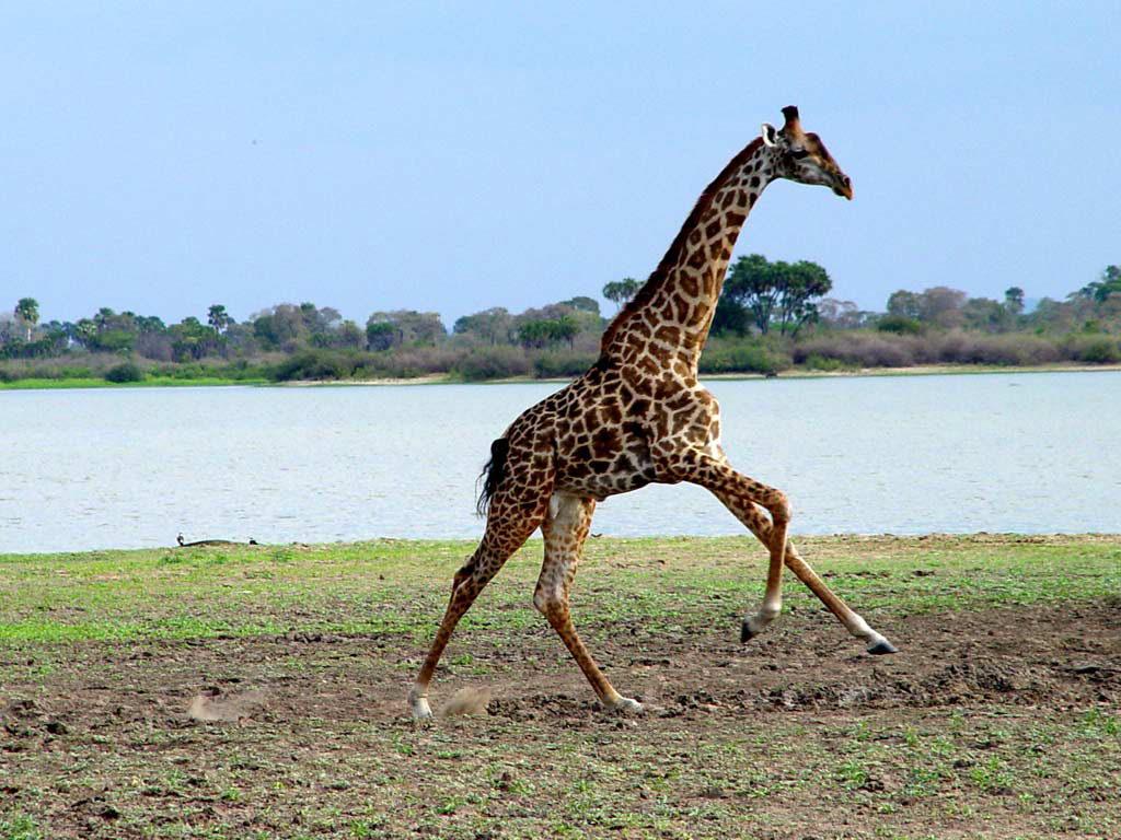 Giraffe running fast