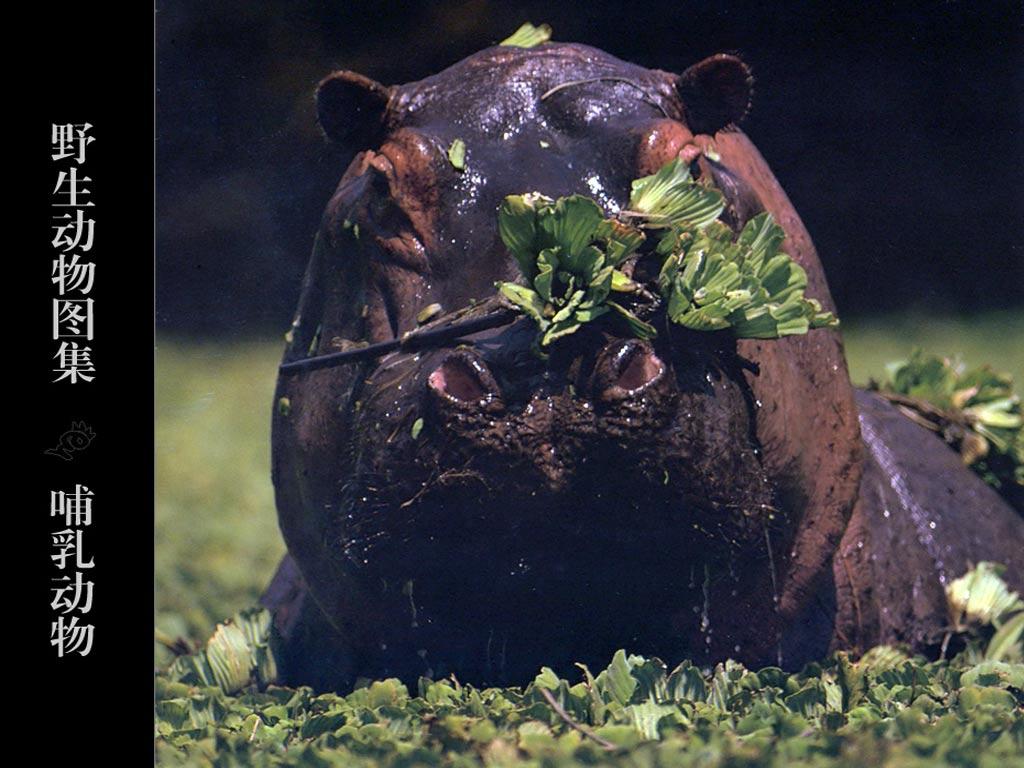 Фотографии Бегемот. Лучшие фото обои - Животные: http://clasno.com/foto.php?id=1385